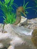 Sea horse royalty free stock photo