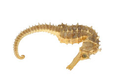 Sea horse exoskeleton. Of the genus Hippocampus Stock Photography
