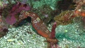 Sea horse  Galapagos island stock video