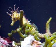 Sea horse hiding Royalty Free Stock Image