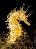 Sea horse hippocampus in natural habitat Stock Photo