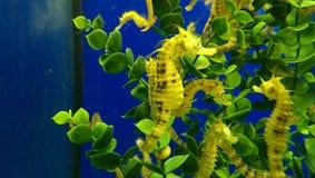 Sea horse. S in aquarium Royalty Free Stock Image