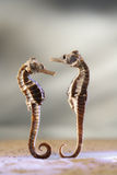 Sea horse love Royalty Free Stock Photo