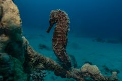 Sea horse in the Red Sea. Sea ​​horse in the Red Sea Colorful and beautiful, Eilat Israel royalty free stock image