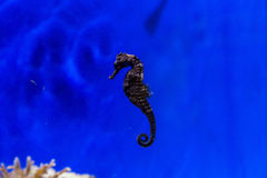 A sea horse Stock Photos