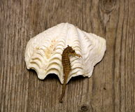 Sea Horse and Sea Shell. A small brown sea horse lying in a white rippled sea shell, arranged on a weathered wooden plank with a wood grain background royalty free stock photo