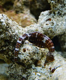 Sea horse striped Stock Photography