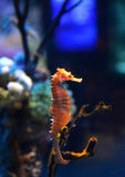 Sea horse. Underwater shot of small sea horse swimming stock image