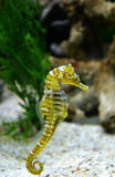 Sea horse. Underwater shot of small sea horse swimming stock photo