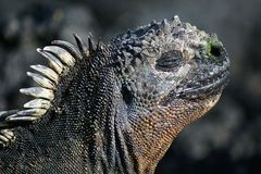 Sea-Iguana, Galapagos. Close-up picture of the head of a sea-iguana, Galapagos stock photos