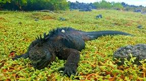 Sea iguana Royalty Free Stock Images