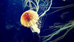 Sea Jelly Japanese sea nettle Royalty Free Stock Images