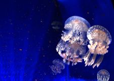 Sea jellyfish on a blue background. Royalty Free Stock Images
