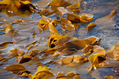 Sea kale. Sheet of the sea kale on background of water Royalty Free Stock Photos