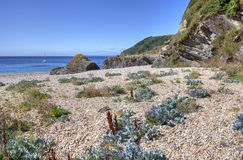 Sea Kale, Cornwall coastline, England Royalty Free Stock Images