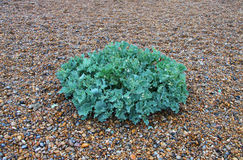 Sea Kale, Suffolk Beach Royalty Free Stock Photography