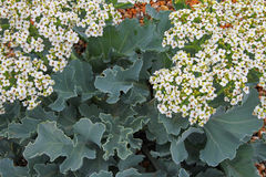 Sea Kale, Suffolk Beach Royalty Free Stock Photos