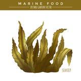 Sea Kelp. Marine Food Stock Photo