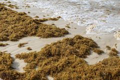 Sea kelp is stranded on the beaches. Of Punta Cana stock photo