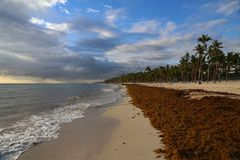 Sea kelp is stranded on the beaches. Of Punta Cana royalty free stock photos