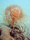 Sea Kokerworm full view Stock Photo