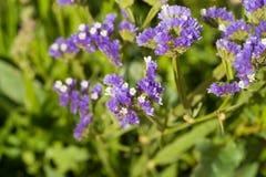 Sea lavender in spring Royalty Free Stock Photo