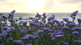 Sea lavender in bloom by the coastline at sunset stock footage