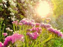 Sea Lavender at sunset Royalty Free Stock Photos