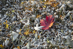Sea of leaves. One red leaf with yellow and gray leaves Stock Image