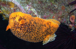 Sea Lemon (Noble) Dorid. Found off of central California's Channel Islands Royalty Free Stock Photo