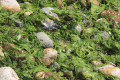 Sea Lettuce at Low Tide. Sea Lettuce and beach stones at low tide, Dunedin, New Zealand Stock Photos