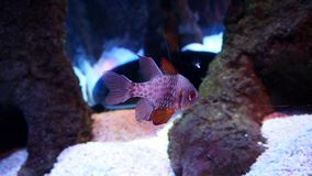 Sea life aquarium fish. Istanbul sea life aquarium, fish and corals Royalty Free Stock Images