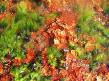 Sea life background. Red rocks and algae in the sea Royalty Free Stock Photography