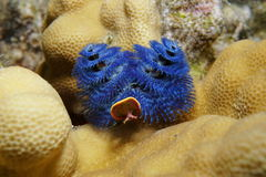 Sea life blue christmas tree worm Pacific ocean. Sea life, a blue christmas tree worm, Spirobranchus giganteus, fixed on lobe coral, Tahiti, Pacific ocean Stock Image