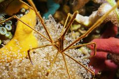 Sea life close up of a yellowline arrow crab Stock Image