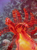 Sea life - crinoid. Underwater photo, a view of the crinoid in the Red Sea in Israel Royalty Free Stock Image