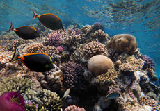 Sea life fish underwater landscape. Red Royalty Free Stock Image