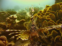 Sea life - lionfish. Underwater photo, lionfish  in the Red Sea in Israel Stock Photography