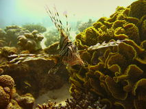 Sea life - lionfish. Underwater photo, lionfish  in the Red Sea in Israel Royalty Free Stock Photo