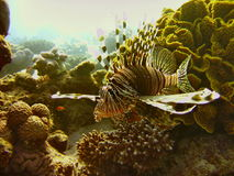 Sea life - lionfish. Underwater photo, lionfish  in the Red Sea in Israel Stock Photo