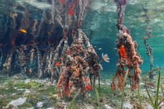 Sea life on mangrove tree roots under the water Stock Photography