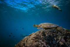 Big turtle in coral reef underwater shot. Sea life at Pacifi ocean. Underwater world discowered with three big turtles at clean station royalty free stock photo