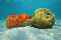 Sea life red boring sponge and grooved brain coral Royalty Free Stock Photos