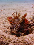 Sea life - scorpion fish. Underwater photo, scorpion fish  in the Red Sea in Israel Stock Photos
