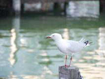 Sea life. Seagull the predator Royalty Free Stock Images