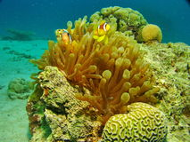 Sea life. Underwater photo, a view of the coral and fish in the Red Sea in Israel Royalty Free Stock Photography