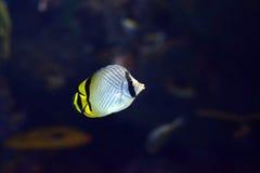 Sea life Vagabond Butterfly fish Chaetodon vagabundus inside aquarium Royalty Free Stock Photo
