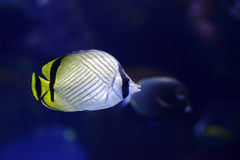 Sea life Vagabond Butterfly fish Chaetodon vagabundus inside aquarium Royalty Free Stock Photos