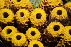 Sea life yellow tube sponge Aplysina insularis Stock Photo