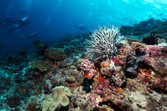 Sea Lilies on Tropical Coral Reef Stock Image